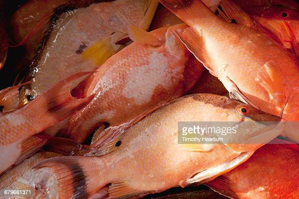 close-up view of fresh caught tilapia - timothy hearsum stock photos and pictures