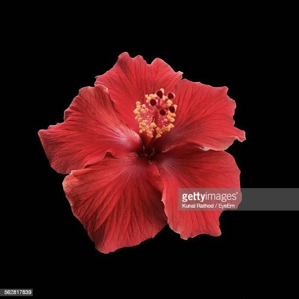 Close-Up View Of Hibiscus