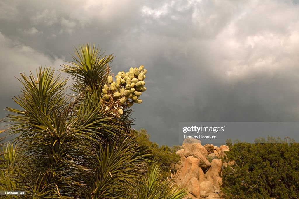 Close-up view of Joshua Tree branches and blossom gone to seed; dramatic stormy sky beyond : Stock Photo