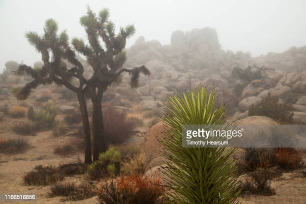close-up view of joshua tree sprout with other joshua trees, desert plants and boulders in the fog - timothy hearsum bildbanksfoton och bilder