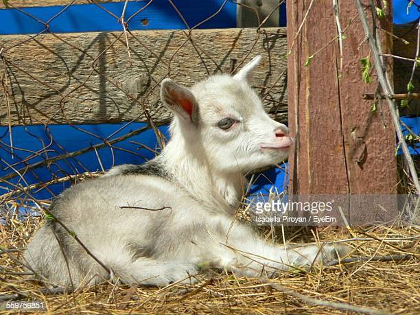Close-Up View Of Kid Goat Lying On Hay