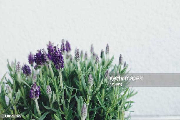 close-up view of lavender blooming in pot against white wall - flowering plant stock photos and pictures