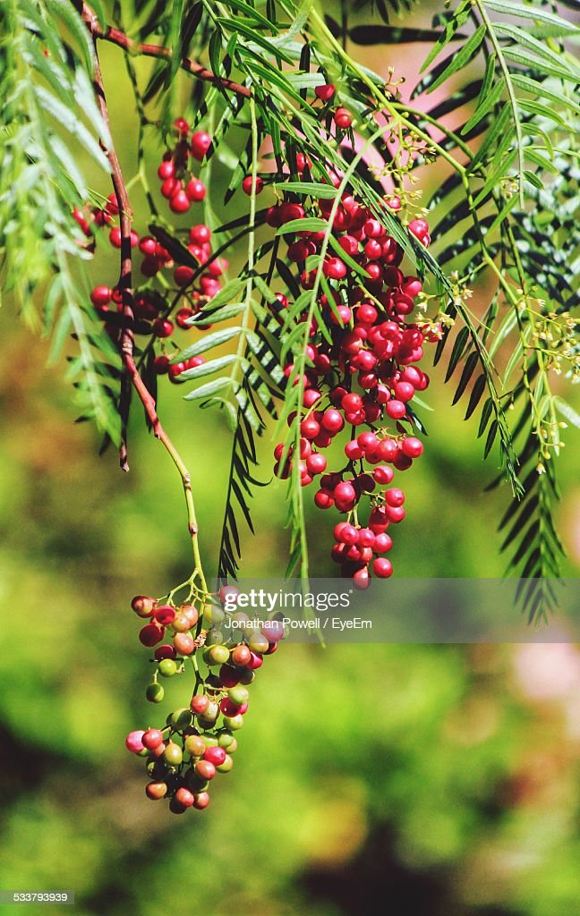 Close-Up View Of Leaves And Fruit : Foto stock
