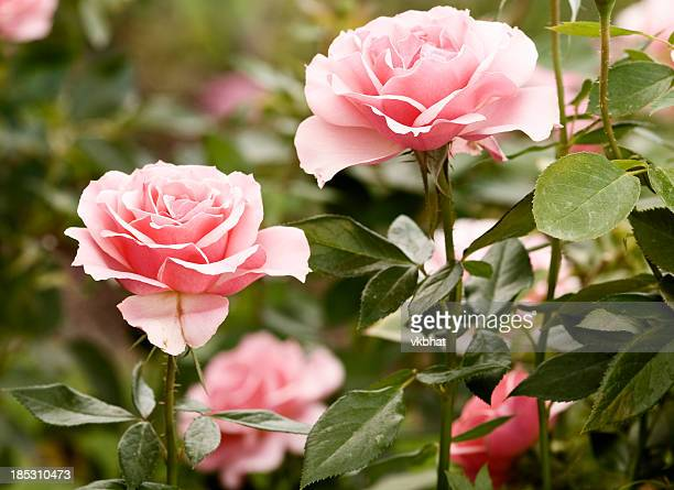 Close-up view of light pink roses