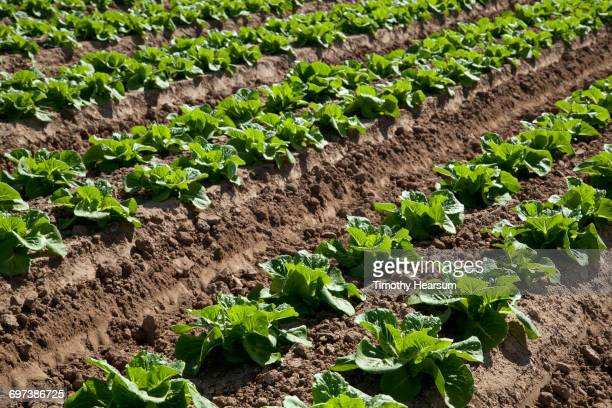 close-up view of mid-growth lettuce plants - timothy hearsum stock pictures, royalty-free photos & images