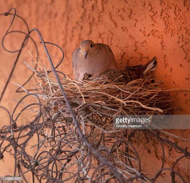 close-up view of mourning dove (zenaida macroura) sitting with baby on nest built on an old bed spring - timothy hearsum stock pictures, royalty-free photos & images