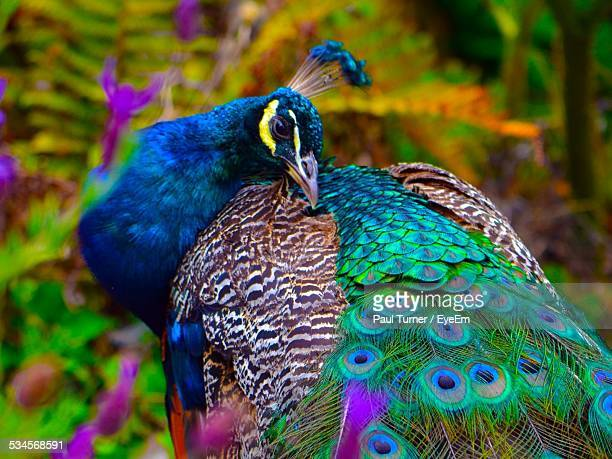 Close-Up View Of Peacock