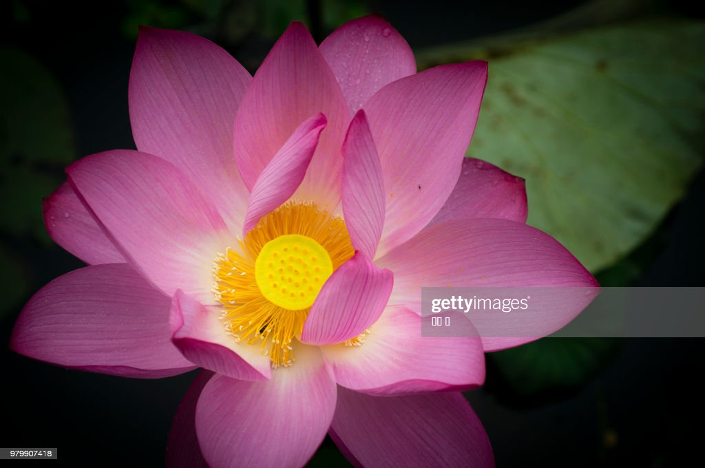 Close-up view of pink lotus flower : Stock Photo