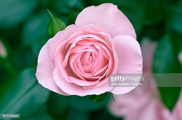 close-up view of pink rose - jens siewert stock-fotos und bilder