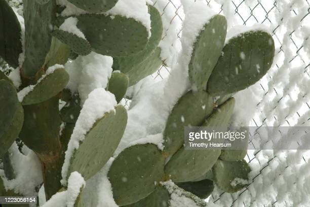 close-up view of prickly pear cactus (opuntia engelmannii) against a chain link fence covered in snow - timothy hearsum stock pictures, royalty-free photos & images