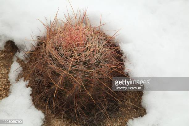 close-up view of red barrel cactus (ferocactus cylindraceus) in the snow - timothy hearsum stock pictures, royalty-free photos & images