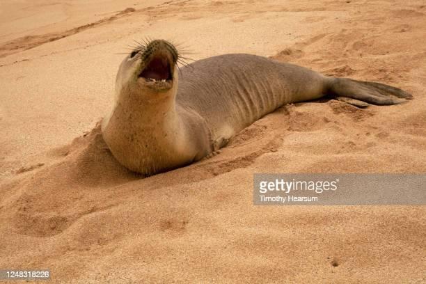 close-up view of roaring hawaiian monk seal lying on a sandy beach - timothy hearsum fotografías e imágenes de stock