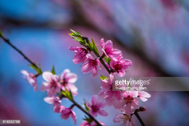 Close-up view of Sakura flowers or Cherry blossoms.