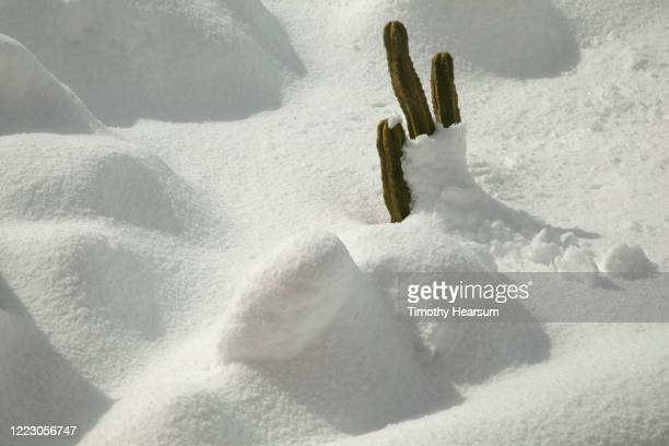 close-up view of san pedro cactus (echinopsis pachanoi) poking through deep snow - timothy hearsum stock pictures, royalty-free photos & images