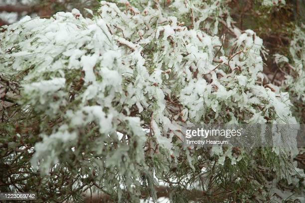 close-up view of snow and ice laden pine tree branches in joshua tree national park - timothy hearsum fotografías e imágenes de stock