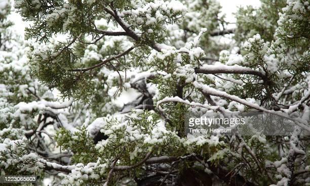 close-up view of snow laden juniper tree branches in joshua tree national park - timothy hearsum - fotografias e filmes do acervo