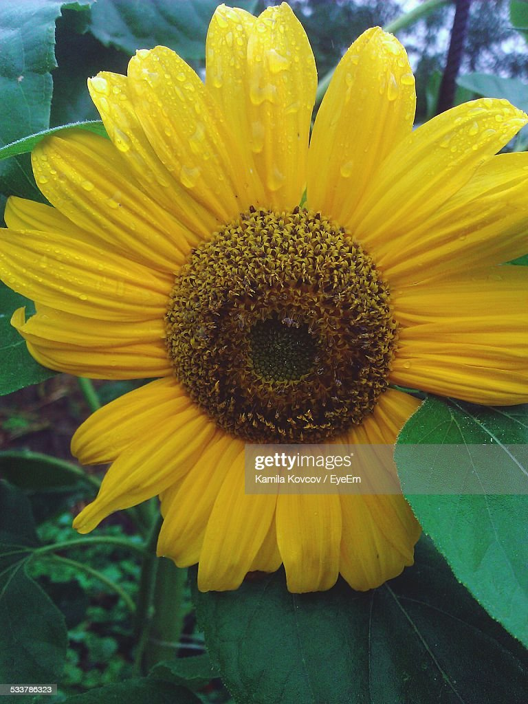 Close-Up View Of Sunflower : Foto stock