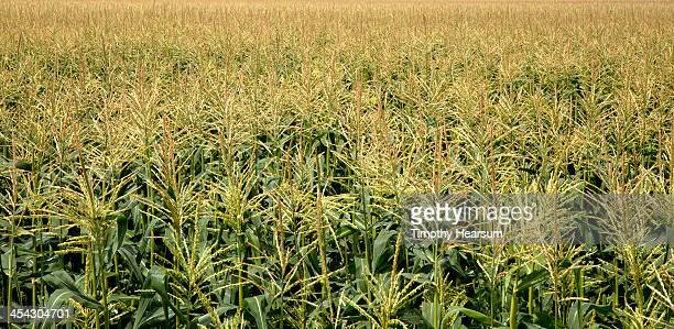 close-up view of tasseled cornfield - timothy hearsum stock photos and pictures