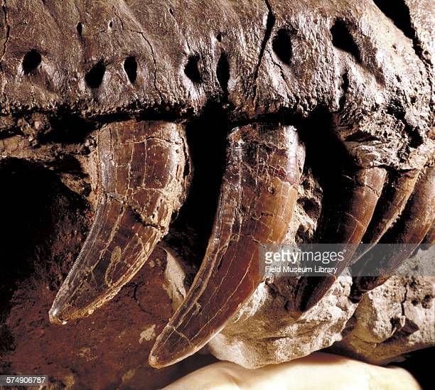 Close-up view of the teeth of the tyrannosaurus rex Sue, at the Field Museum in Chicago, Illinois, April 15, 1998.