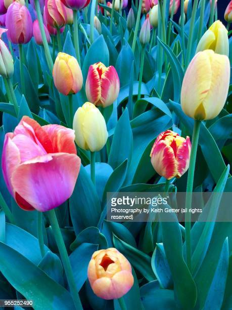 close-up view of tulips in bloom - parte della pianta foto e immagini stock