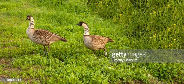 close-up view of two nene or hawaiian geese (branta sandvicensis) walking through a green field - timothy hearsum photos et images de collection