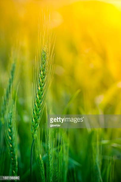 Close-up view of wheat field during sunrise