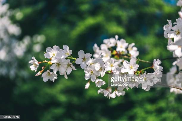 A close-up view of white cherry blossoms