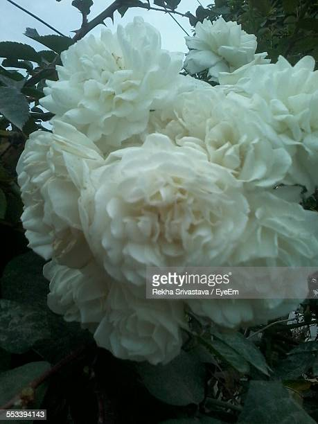 close-up view of white flowers - rekha stock pictures, royalty-free photos & images
