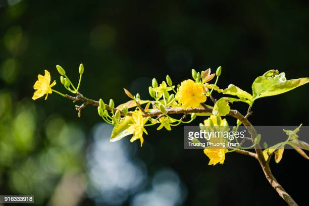 Close-up view of yellow Apricot blossoms in the spring.