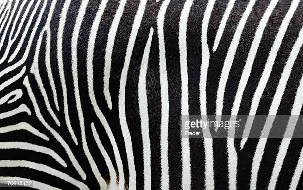 Close-up view of zebra stripes