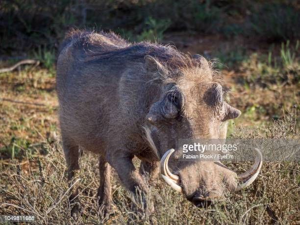 close-up warthog in addo elephant national park, south africa - wild boar stock pictures, royalty-free photos & images