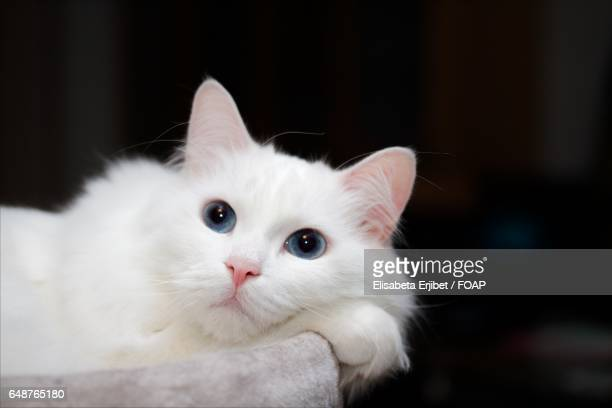 close-up white norwegian forest cat - norwegian forest cat stock photos and pictures