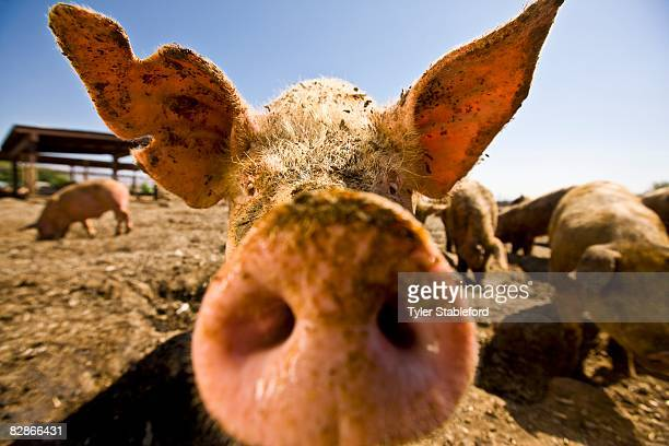 close-up, wide angle view of a pig's snout & ear. - big nose stock photos and pictures