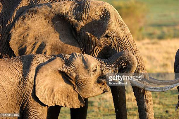 Close-up Wild African Elephant Adult and Baby Elephant Drinking Water