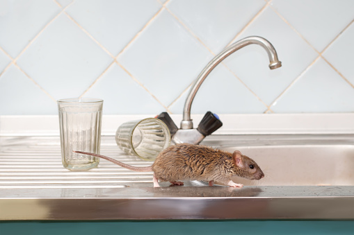 Closeup young rat prowls on the sink at kitchen on background of two faceted glasses. Fight with rodents in the apartment. Extermination. 986871464