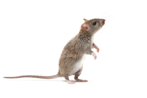 closeup young rat  stands on its hind legs and looking up. isolated on white. 994381798