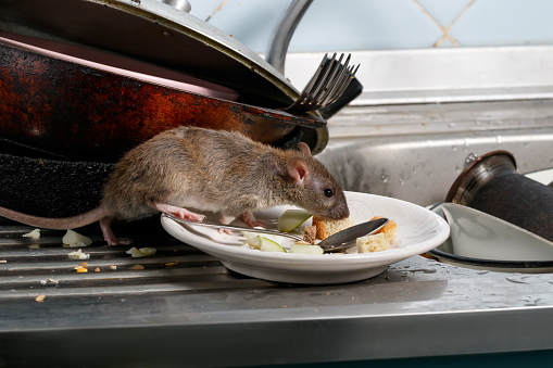 Close-up young rats sniffs leftovers on a plate on sink at the kitchen. 996155102