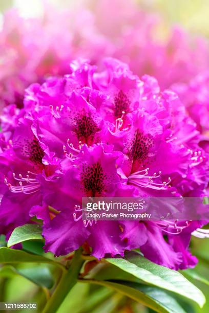 close-up/macro image of vibrant deep pink coloured rhododendron flowers - evergreen plant stock pictures, royalty-free photos & images