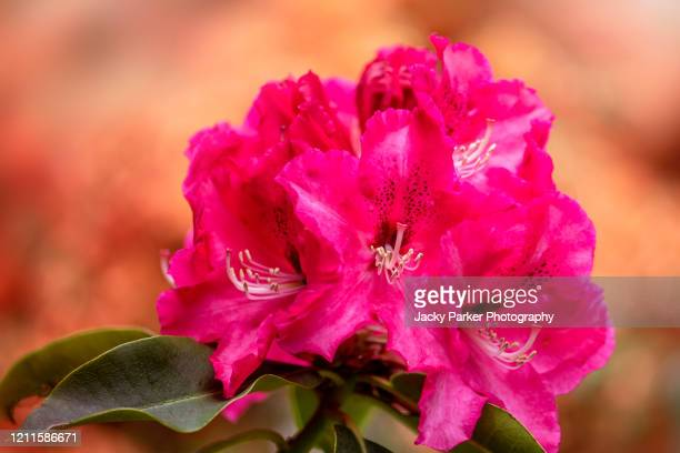 close-up/macro image of vibrant red coloured rhododendron flowers - evergreen plant stock pictures, royalty-free photos & images
