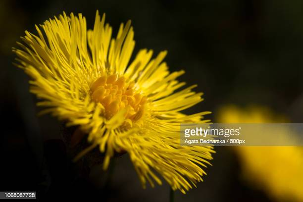 close-upn photo of coltsfoot (tussilago farfara) - coltsfoot stock photos and pictures