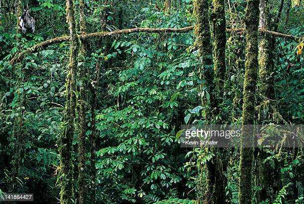 Cloud Forest, Cosanga Valley, Andes Mountains, Ecuador