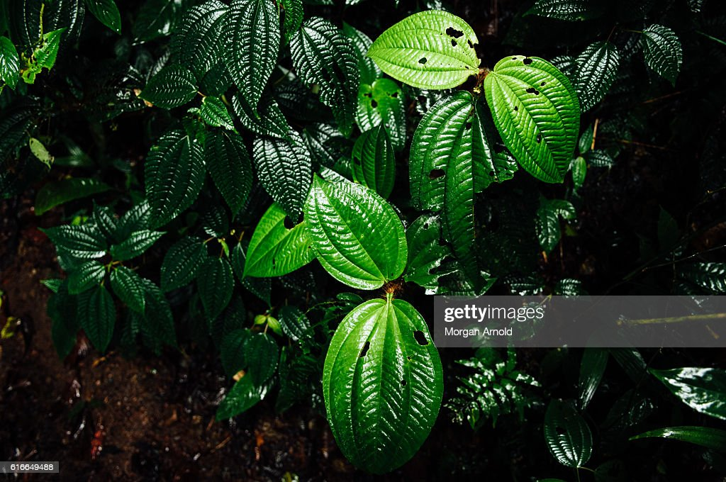Cloud forest leaves : Stock Photo