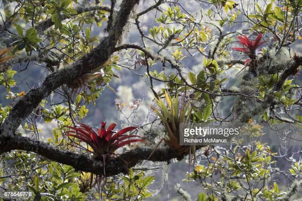 cloud forest near soata. - bromeliad stock photos and pictures