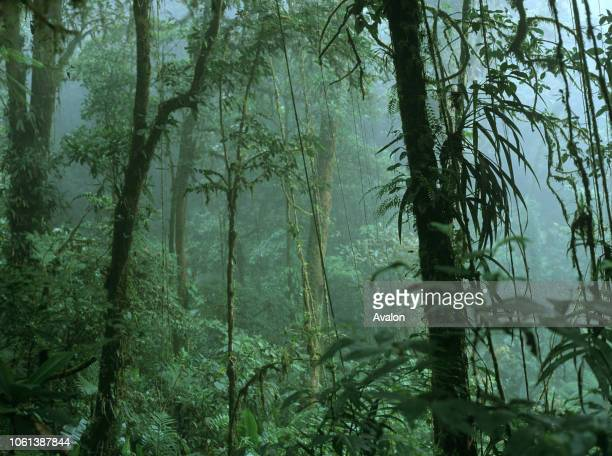 Cloud forest with trees Illianias and Bromeliads in mist Monteverde Biological Reserve Costa Rica Central America.