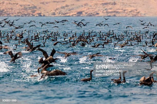 Cloud of cormorants