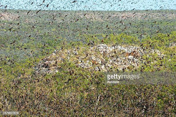 Cloud of Flyingfoxes in riparian monsoon forest on escarpment of central range Broadmere Station western Gulf of Carpentaria Northern Territory...