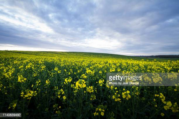 Cloud Over a Rapeseed Field