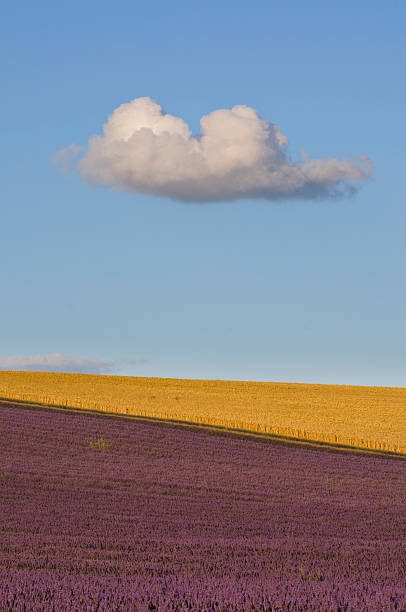 Cloud passing over lavender field
