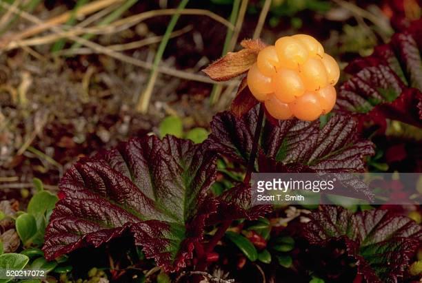 Cloudberry Plant in Tundra