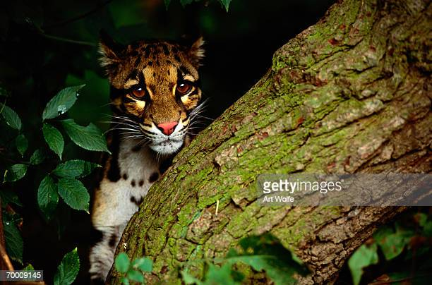 clouded leopard (neofelis nebulosa) behind tree - clouded leopard stock photos and pictures